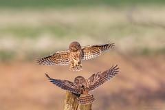 My little project 2018 - athene noctua (eric-d at gmx.net) Tags: littleowl athenenoctua steinkauz eric ngc owl eule birdofprey birds vogel