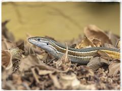 LAGARTIJA (BLAMANTI) Tags: lagartos lagartija lagarto reptiles rastrero hermoso hermosa canon canonpowershotsx60 blamanti