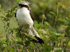 grey-backed Fiscal in Masai Mara (jeaniephelan) Tags: birdsofthemasaimara bird africanbird