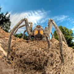 Wandering spider (Ctenidae) - DSC_4856 (nickybay) Tags: africa mozambique bugshot macro sofala gorongosa ctenidae wandering spider wideangle cctv
