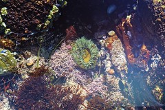 Anemone (phone.o.graph) Tags: tide pools nature tidepool tidepools underwater anemone