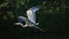 Great Blue heron (Paula Cheese) Tags: wwwpaulacheesephotographycom nikon canada nikoncanada great blue heron bird nature naturelovers tarmron tamron150600