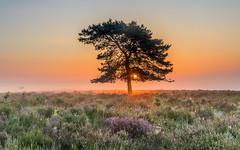 Heather, Mist And Cobwebs (nicklucas2) Tags: landscape newforest ibsleycommon heather bracken tree mist sunrise