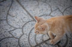 33301 - Giulio (Diego Rosato) Tags: giulio gatto gattino cat kitten nikon d700 70200mm sigma rawtherapee