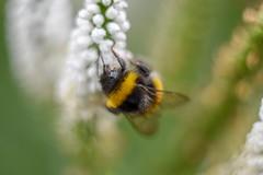 Bumblebee (agnieszka.a.morawska) Tags: beyondbokeh bokehlicious bkhq helios helios44m garden summer nature insect bumblebee macro dof bokeh