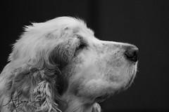 Dog Portrait (Alice Jean Photography) Tags: spaniel dog photogenic bw handsome fur love portrait canon photographer