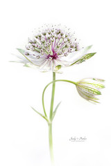 Astrantia major (Jacky Parker Photography) Tags: astrantiamajor masterwort flower white summerflower summergarden closeup highkey whitebackground freshness beautyinnature purity singleflower floralart floralfriday nopeople portrait
