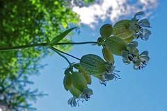 DSC07393rx100IV (jaaselin) Tags: pirkkala finland nature finnishnature flowers bluesky pirkkalabirch sunny pirkkalankoivu kesä sininentaivas päivänkakkara kellokukka koivu aurinko