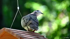"""I Know There's Seed Here Somewhere!"" (Suzanham) Tags: mourningdove bird dove birdhouse perching mississippi columbidae americanmourningdove raindove"