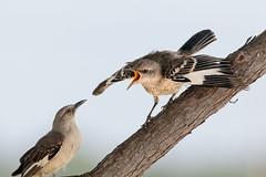 Feed me NOW!! (Lynn Tweedie) Tags: beak mockingbird baby bark canon animal 7dmarkii tree juvenile eos bird northern feathers tail eye leessummitmunicipalairport wing sigma 150600 mm f563 dg os hsmcontemporary