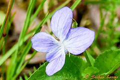 Viola riviniana (Salmix_ie) Tags: flowers blooms blossom colors nikon nikkor d500 karvat oravais finland june 2018