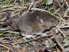 Unidentified Mouse/Vole (flikrnik) Tags: mouse carsington carsingtonwater derbyshire peakdistrict vole