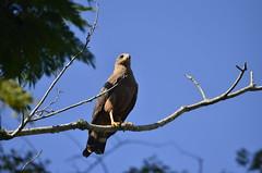 Ponto de observação (Márcia Valle) Tags: juizdefora minasgerais brasil zonarural paisagemrural márciavalle nikon d5100 brazil inverno gavião gaviãocaboclo rapina ave bird