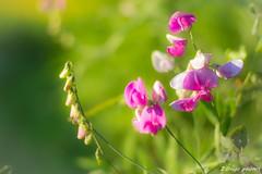 Montesquieu-1_GF (zango-photos) Tags: lotetgaronne randonnée montesquieu ballade paysage campagne 47 été nature fleurs sauvage