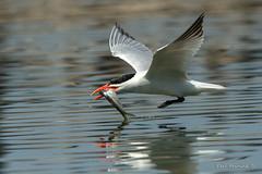Junior's going to be happy. (Earl Reinink) Tags: fresh fish fishing bird animal water reflection wings outside outdoors nature beak earl reinink earlreinink ttodrdiddza tern caspiantern