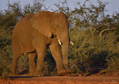 On a mission to the waterhole (Sumarie Slabber) Tags: elephant big5 animal safari nature sumarieslabber wild wildlife afternoonlight fauna ears male