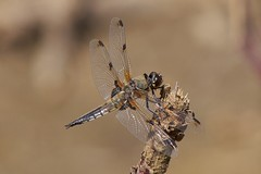 Libellula quadrimaculata (David_W_1971) Tags: odonataanisoptera fotga10mmextensiontube