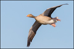 Greylag Goose (John R Chandler) Tags: animal anseranser bird brandonmarsh goose greylaggoose inflight unitedkingdom warwickshire warwickshirewildlifetrust wildfowl coventry uk gb