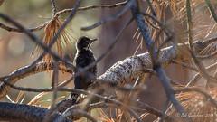 Black-backed Woodpecker (Bob Gunderson) Tags: bigspringsroad birds blackbackedwoodpecker california monocounty northerncalifornia picoidesarcticus sierras woodpeckers