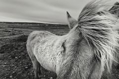 Íslenski hesturinn (pni) Tags: monochrome icelandic horse field closeup mane fur is18 iceland ísland pekkanikrus skrubu pni animal view