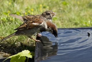 Thirsty Sparrows