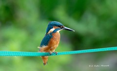 Kingfisher (DanielRedfern) Tags: kingfisher bird river blue orange eye nature fishing posing beauty tophill low yorkshire summer sunshine green fence photography reserve wings 150600mm tamron sony a58