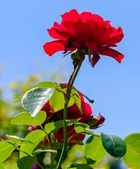 Helmsley Walled Garden (alh1) Tags: helmsleywalledgarden england yorkshire ryedale rose