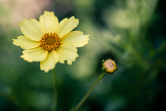 Paired (rg69olds) Tags: 07082018 35mm 5dmk4 canoneos5dmarkiv lauritzengardens nebraska sigma35mmf14artdghsm canon downtown flower flowers omaha yellow paired bud bloom blossom garden 35mmf14dghsm|a sigma