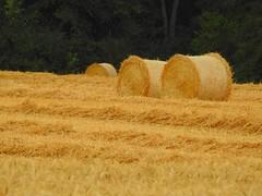 Zeit ist reif (Sophia-Fatima) Tags: zarrentin mecklenburgvorpommern deutschland ernte kornfeld getreide stroh
