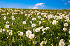 Dandelion clocks on the Yorkshire coast (vambo25) Tags: clevelandway yorkshire coast grass dandelion buttercup field sky whitby dandelionclock flower weed