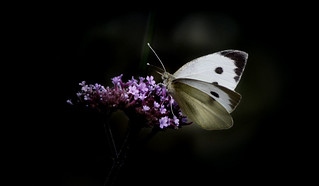 Large white on Verbena