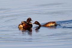 "Black-Necked Grebe (""Clare"") Tags: blackneckedgrebe bird nature wildlife podicepsnigricollis"