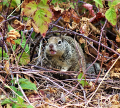 Chatting Squirrel (Scott Severn) Tags: don edwards wildlife refuge squirrel