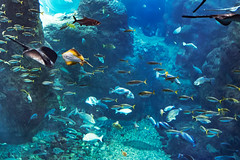 At Enoshima Aquarium, Fujisawa : 新江ノ島水族館にて(藤沢市) (Dakiny) Tags: 2018 summer july japan kanagawa fijisawa shonan coast enoshima kataseenoshima park aquarium enoshimaaquarium city street indoor creature fish underwater blue nikon d750 tamron 35mm f18 tamronsp35mmf18divcusd tamronsp35mmf18divcusdmodelf012 sp35mmf18divcusd sp35mmf18divcusdmodelf012 modelf012
