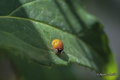 Tomando el sol antes de la tormenta... (Javier Arcilla) Tags: insecto mariquita coccinélidosv verde colorido ponferrada pentax pebtaxk70 sigma sigma70300mm macro españa