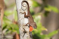 Brown Anole 500_6711.jpg (Mobile Lynn) Tags: nature reptiles lizard brownanole fauna reptile wildlife naples florida unitedstates us