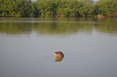 Water Monitor Lizard / Bindenwaran (Sali e Tabacchi) Tags: lagoon waran monitor lizard reptile srilanka ceylon d5100