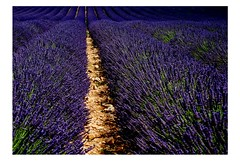 Lavender... (dagherrotipista) Tags: lavanda lavender nikond60 nature natura fiori flower provence valensole france francia