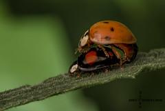 Mating Ladybirds (John Chorley) Tags: ladybird mating macro macrophotography nature johnchorley wildlife outdoor 2018 closeups closeup