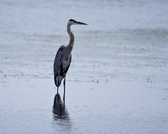 big blue (Mark.Swanson) Tags: heron greatblueheron bannerstatefishandwildlifearea banner illinois