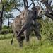 AFRICAN ELEPHANT:  BACK OFF!! (John C. Bruckman @ Innereye Photography) Tags: botswana elephants assertiveelephant okavangodelta chobenationalpark linyantiregion floodplainsofthechoberiver diet herbivorous