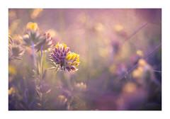 I will be your treasure... (David Haughton) Tags: kidneyvetch maram grass macro helios44m 58mm f2 flower flowers wildflowers wildflower warm summer evening