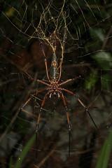 Nephila inaurata ♀ (Red-legged Golden Orb-weaver) - Seychelles (Nick Dean1) Tags: spider orbweaver arachnid arachnidae arachnida nephilainaurata redleggedgoldenorbweaver seychelles mahe indianocean animalia arthropoda
