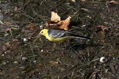 Male Citrine Wagtail at Udaipur S24A0875 (grebberg) Tags: udaipur rajasthan india march 2018 male citrinewagtail motacillacitreola motacilla wagtail bird