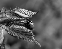 Ladybug On An Adventure (that_damn_duck) Tags: nikon blackwhite monochrome nature insect ladybug leaf spots bw blackandwhite