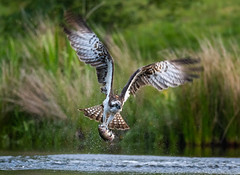 Osprey 23-06-2018-8539 (seandarcy2) Tags: birds highland prey raptors osprey uk wildlife handheld