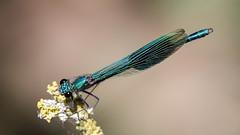 Banded Demoiselle (Unintended_Keith) Tags: bandeddemoiselle damselfly metallic shiny beautiful insect closeup nature wildlife canon1dx sigma180mmf28apomacroexdgoshsm 14xteleconverter