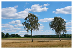 Birches (mechanicalArts) Tags: birches birken birke kornfeld
