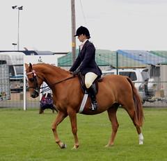 RIdden Part-Bred Arab (Elrenia_Greenleaf) Tags: partbredarab arabhorse pbahorse riddenhorse horse equestrian royalhighlandshow royalhighlandshow2018 rhs rhs2018 chestnut