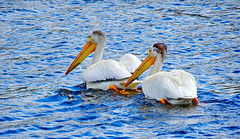 Juvenile White Pelicans (+5) (peggyhr) Tags: peggyhr pelicans lake dsc06440ab bythelakepark wetaskiwin alberta canada thegalaxy thegalaxystars rainbowofnaturelevel1red super~sixbronze☆stage1☆ level1pfr thelooklevel1red thegalaxylevel2 halloffamegallery thelooklevel2yellow carolinasfarmfriends